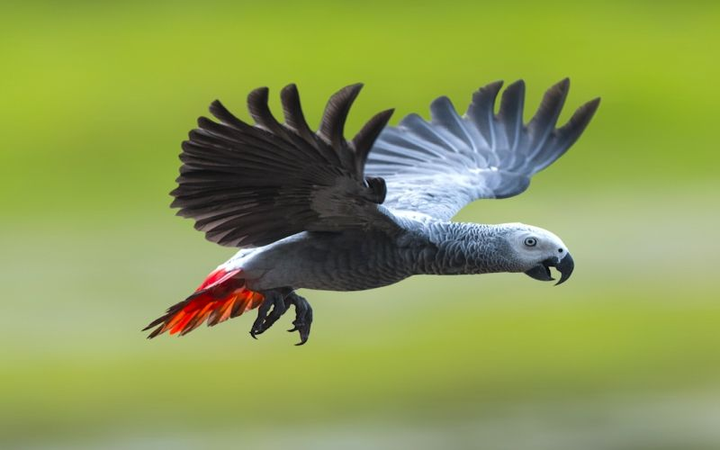 How much does an African grey bird cost?