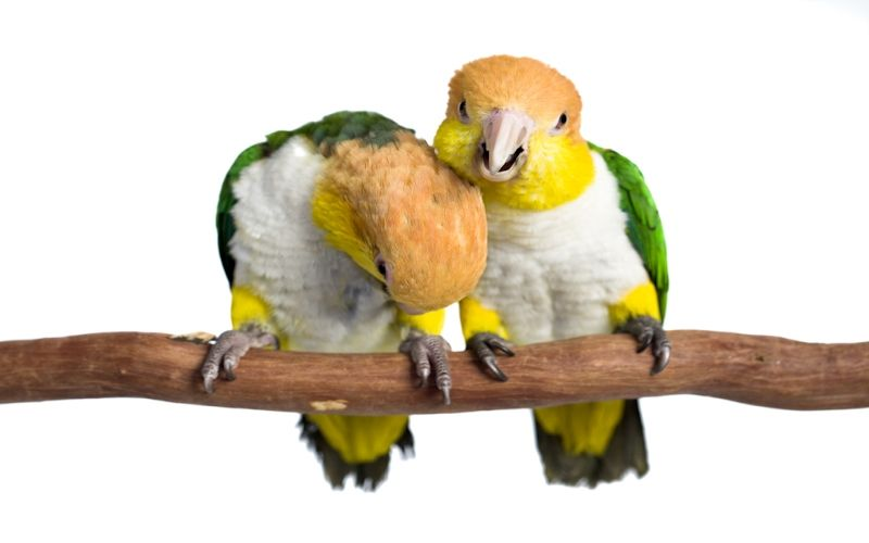 Why Caique Loves Perches?