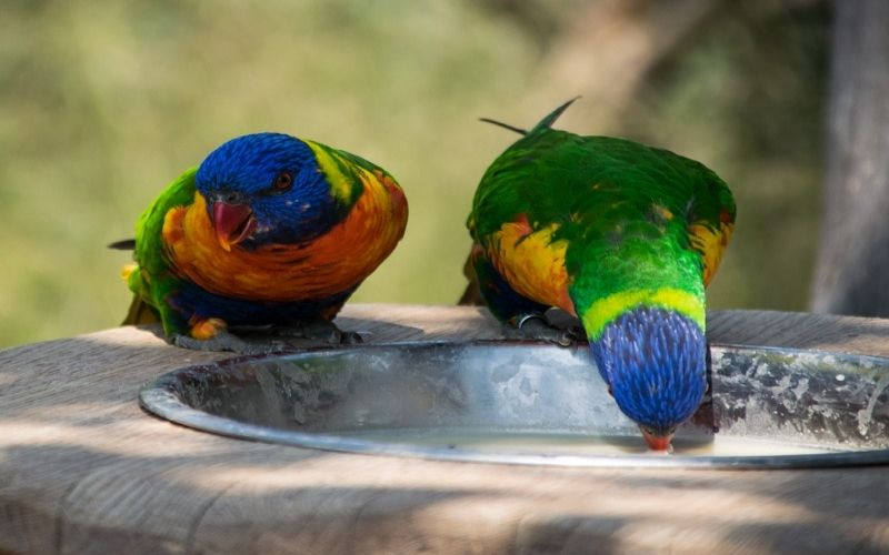 Can birds drink from a bowl?