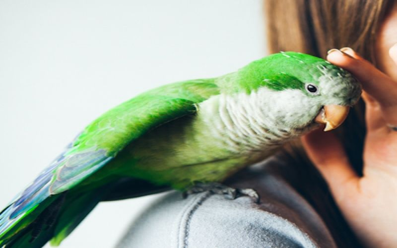 Are Eclectus Parrots Good for Beginners?