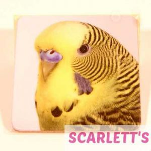 Coaster Budgie Design