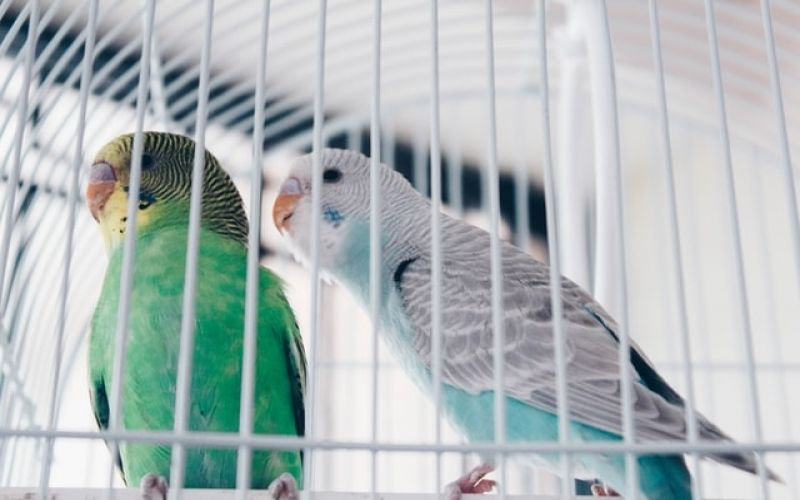 Buying a Parrot Guideline