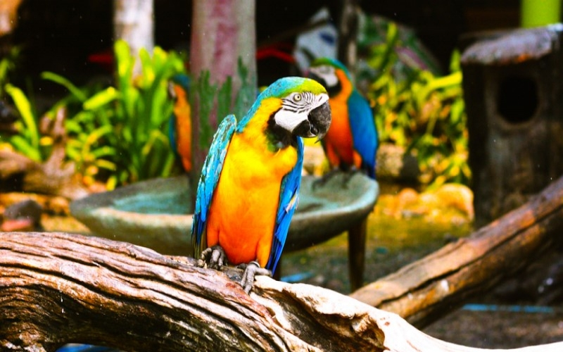 Can different species of birds live together in an aviary?