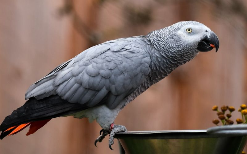 African Grey Parrot Guide
